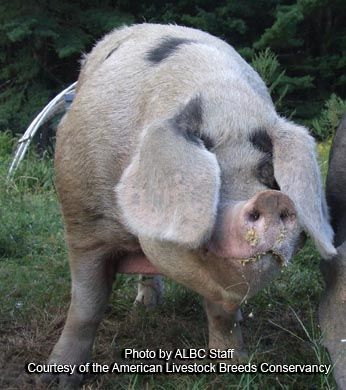 Gloucestershire Old Spots Pig.  Docile, intelligent, prolific, and self-sufficient.  Excellent pasture pigs.  Pigs also help control orchard pests - if you can protect the trees from their foraging.