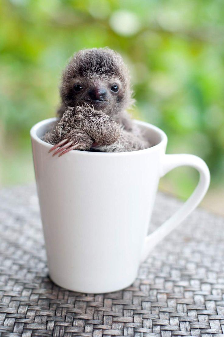 Na Costa Rica as preguiças órfãs têm uma nova oportunidade para regressar à natureza, com a ajuda do Instituto das Preguiças da Costa Rica.
