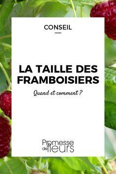 La taille des framboisiers / Blog Promesse de fleurs