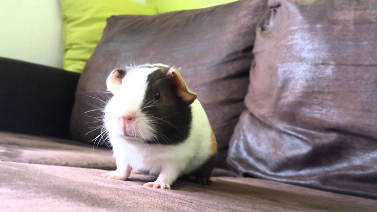 ok guys so my guinea pig that looks just like this died yesterday and I cried like for 3 hours and we buried her she was cold like a freezer I was really scared.