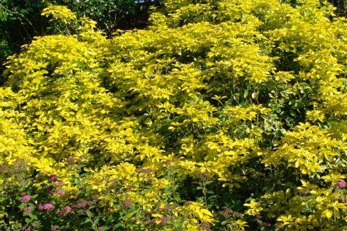 1000 id es sur le th me arbustes feuillage persistant sur pinterest arbustes feuilles - Oranger du mexique feuilles jaunes ...