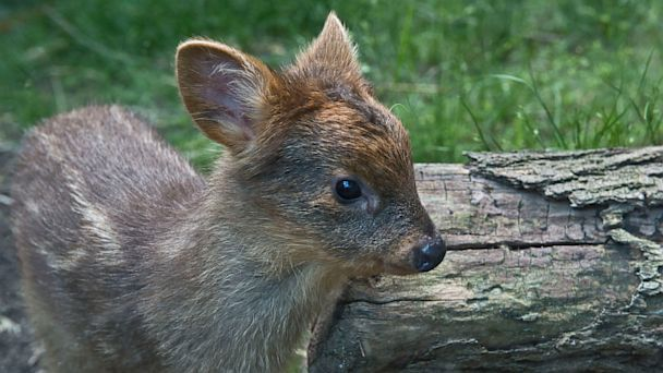 A Very Tiny Deer That Weighs Less Than One Pound Born in New York City Zoo