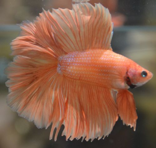 Live betta fish beautiful orange doubletail male for Buy betta fish