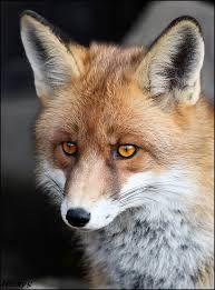 Výsledek obrázku pro liška obecná mládě