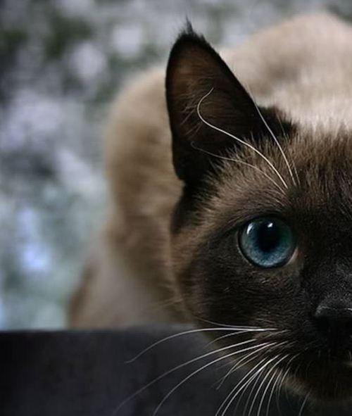 """I got my eye on you!""Siam Cat, Cat Eye,  Siamese, Blue Eye, Desktop Wallpapers, Siamese Cat, Kitty, Bright Colors, Animal"