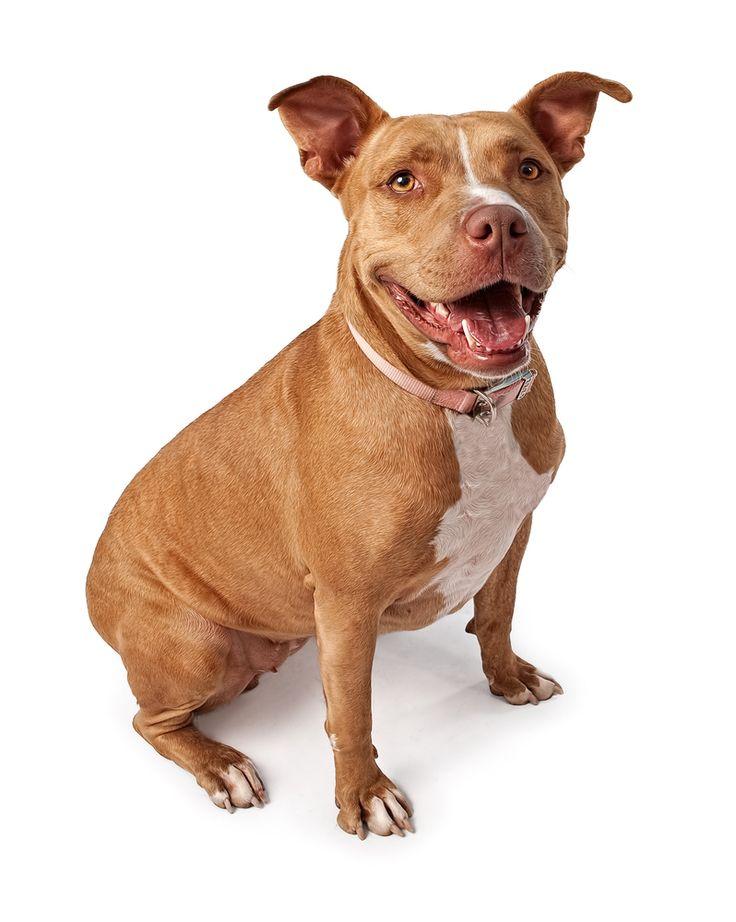 OMG! How Cute ! Follow for more, Tag Someone Who Would Love This French PitBull ! Tag: #dog ,#dogslover , #funnydog #dog #lovedogs #doggy #doglife #mydog #dogs #ilovemydog #doglover #dogoftheday #frenchbulldog #bulldog #nationaldogday #dogsitting #instadogs #doglove #happydog #lovemydog #dogslife #englishbulldog #husky #huskylove #doggie #cutedog #dogtraining #dogpark #doglovers #doggies #dogmodel #doglife #instadogs #pitbull