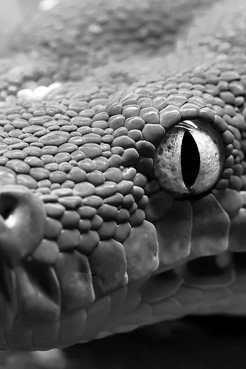 boa constrictor up close and personal…