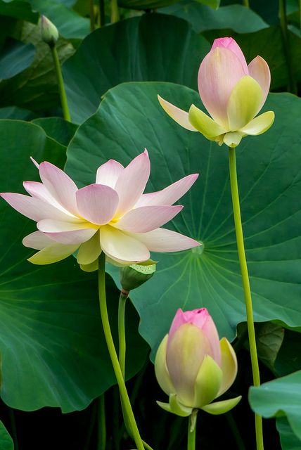 Lotus flowers grow and blossom out of the muddy waters...like people who emerge beautiful and peaceful as they struggle through and overcome obstacles