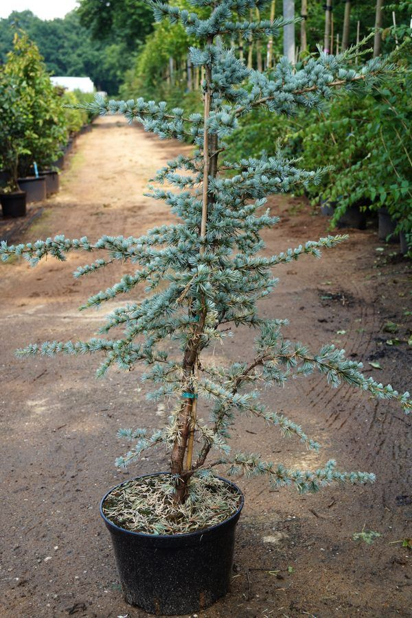 Zu Den Eigenwilligsten Und Interessantesten Nadelgeholzen Gehort Die Zeder Sie Galt Im Altertum Als Der Schonste Baum Der We Pflanzen Schone Baume Ziergeholze