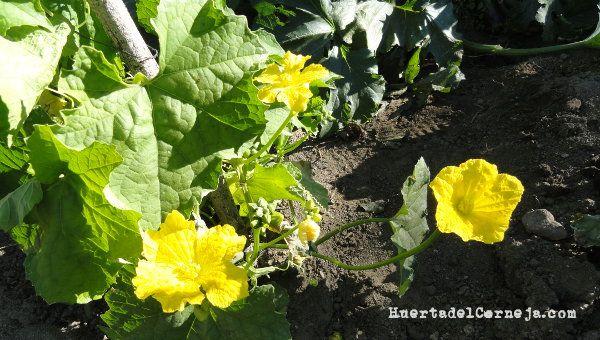 Cómo Cultivar Una Esponja Vegetal O Luffa Huerta Del Corneja Esponja Vegetal Cultivar Vegetal