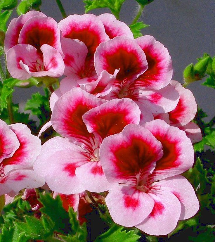 ivy geranium varieties | Types of geraniums - Types of flowers - Different types of flowers ...