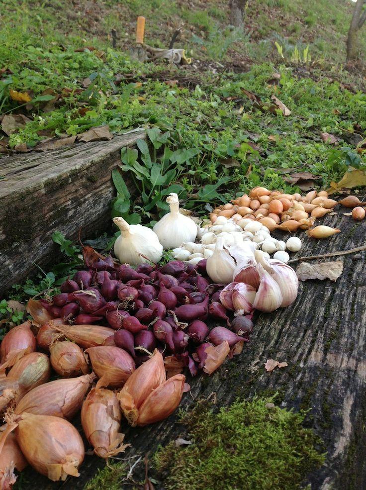 Luna calante: é ora di piantare aglio, scalogno e cipolle! #Natura #Veneto #alimentazione