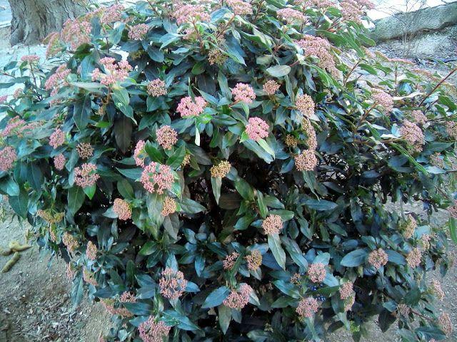 Uno de los atractivos del durillo (Viburnum tinus L.) es su doble floración (una en primavera, como se puede observar en el siguiente enlace, y otra en invierno), por lo tanto siempre está en fruto o en flor, o ambas a la vez.  Además de su resistencia al frío, al sol, la sequía y las plagas.  En las fotografías se puede observar que coincide la floración invernal con los frutos de la floración de primavera.