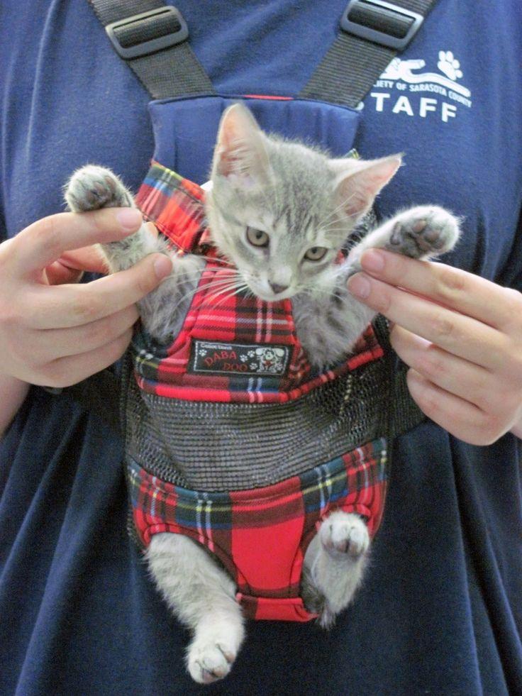 Cute Grey Kitten being carried in a Cat Carrier!