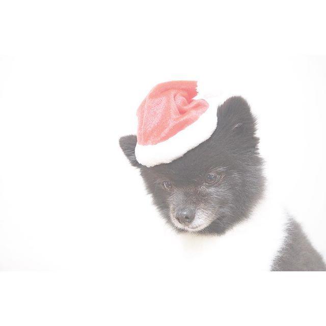 . . . merry Christmas  . . 帽子かぶってみんなが くるの待ってます ◯ . . 夜中のクリスマスパーティー . . . #merryxmas #Xmas #party #Pomeranian #pom #dog #olympus #camera #instadog #japan #instagood #instagram #love #camera #picture #photo #photography #olympus #olympus倶楽部 #写真好きな人と繋がりたい #写真撮ってる人と繋がりたい #ファインダー越しの私の世界 #ポメラニアン #ふわもこ部 #犬のいる暮らし #愛犬 #小鉄