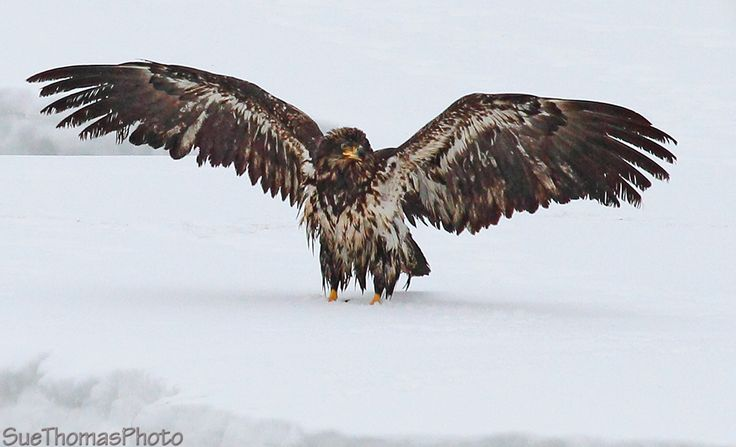 Juvenile Bald Eagle drying off in Yukon