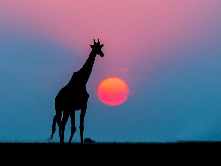 Giraffe at Sunset, Chobe National Park, Botswana