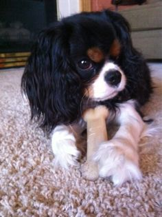 Tricolor Cavalier King Charles Spaniel                                                                                                                                                                                 More