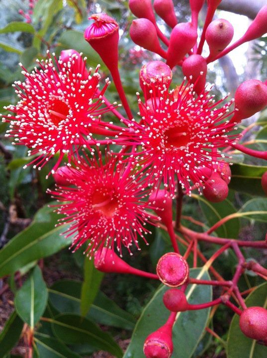 Eucalyptus ficifolia: Australian National Botanic Gardens in Canberra, the capital city of Australia. The garden supports a living collection of around 74,000 individual plants arranged in 40 hectares of themed sections. It is the largest scientific collection of Australian native plants in which the collection originates from plants sourced from the wild, accompanied by herbarium specimens for taxonomic study.