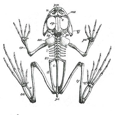 Frog Skeletal Anatomy | Science Tips | Skeleton, Skeleton