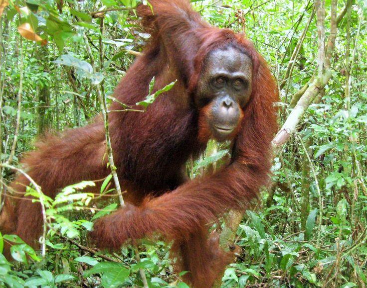 Tanjung Puting? Orangutan? Apa hubungannya nama Tanjung Puting sama Orangutan? Walapun yang satu adalah nama tempat dan yang satu lagi adalah nama hewan, tapi jelas ini ada hubungan nya. Taman Nasional (TN) Tanjung Puting terletak di semenanjung Kalimantan Tengah. Di sini terdapat konservasi orangutan terbesar di dunia dengan populasi diperkirakan 30.000 sampai 40.000 orangutan …