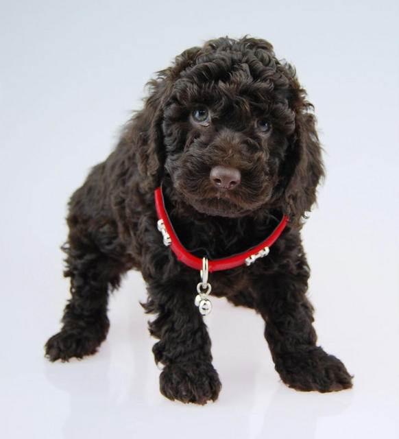 Cocker Poodles...the perfect blend of sly intelligence and stupid love.