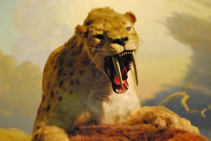 A Smilodon angles to get a better bite on a sloth at the La Brea Tar Pits and Museum. Photo by Brian Switek.