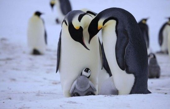 Cute baby emperor penguin - photo#19