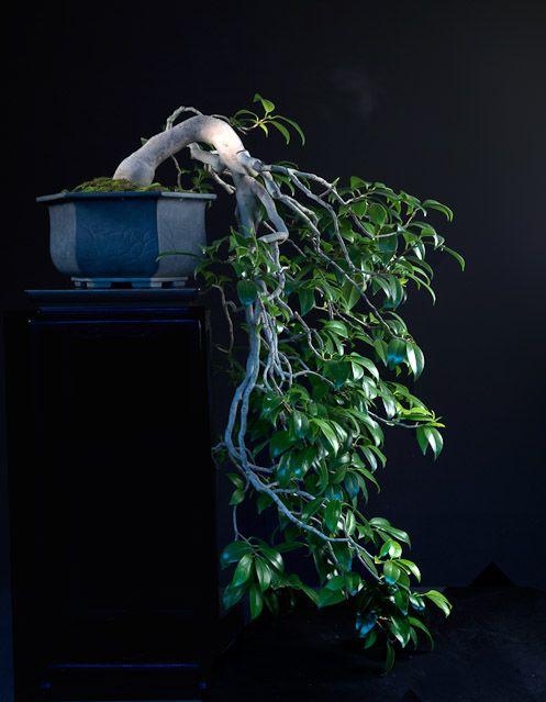 "Bonsai (japonês: 盆栽, bon-sai), que significa ""árvore em bandeja""."