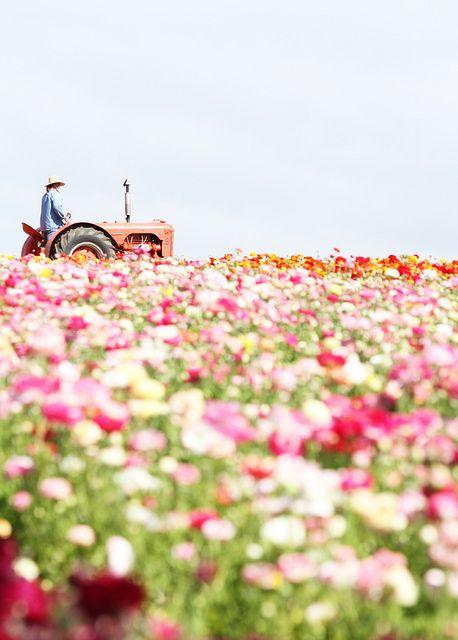 fields of flowers: Pink Flowers, Spring Flowers, Flowers Farms, Flowers Fields, Fields Flowers, Fields Of Flowers, Flowers Pictures, Farms Life, Country Life
