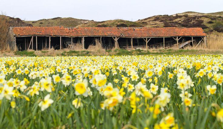 Old barn on Texel #Texel #barn #schuur #daffofill #narcis #bloem #flower #nature #natuur #justinsinner #photography #fotografie #wadden #eiland Website: http://justinsinner.nl Webshop: http://justinsinner.werkaandemuur.nl/nl
