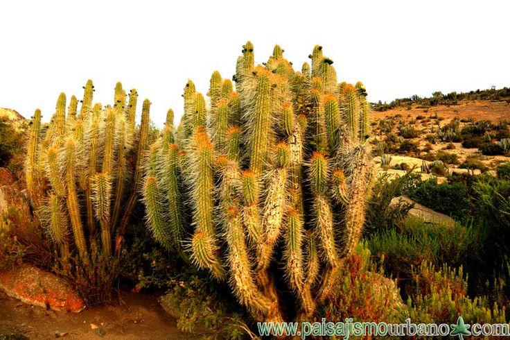 Mazizo de Echinopsis chiloensis, endemico de Chile