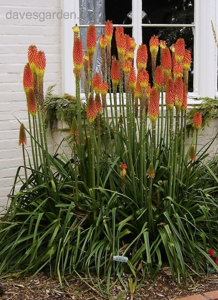 Full Size Picture Of Red Hot Torch Lily Tritoma