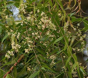 Neems (azadirachta indica): Azadirachta indica, also known as Neem, Nimtree, and Indian Lilac is a tree in the mahogany family Meliaceae. It is one of two species in the genus Azadirachta, and is native to India and the Indian subcontinent including Nepal, Pakistan, Bangladesh and Sri Lanka. It is typically grown in tropical and semi-tropical regions. Neem trees now also grow in islands located in the southern part of Iran. Its fruits and seeds are the source of neem oil…