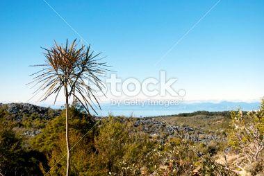 Lancewood (Horoeka) Trees Royalty Free Stock Photo