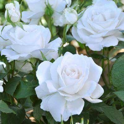 """本日の薔薇""""  ^^  アンナプルナ [Annapurna] フランス Dorieux作 2000年   名はヒマラヤ山系の有名な美しい雪山から。エレガントな花型、透き通るようなシルキーホワイトの大輪花。凛として爽やかな芳香が溢れんばかりに香ります。とても返り咲き性が強くて、秋まで繰り返しに良く咲きます。扱いやすい中型のブッシュタイプで、鉢植え、庭植えのどちらでも育てやすい。   花径:8cm 樹高:1.0m 花季:四季咲き その他:香⇒豊かな香り  ※京阪園芸ガーデナーズのドリュ ロ-ズはこちらから→ http://www.keihan-engei-gardeners.com/fs/keihangn/c/dorieux"""