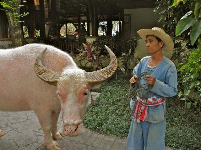 Búfalo Acuatico Albino