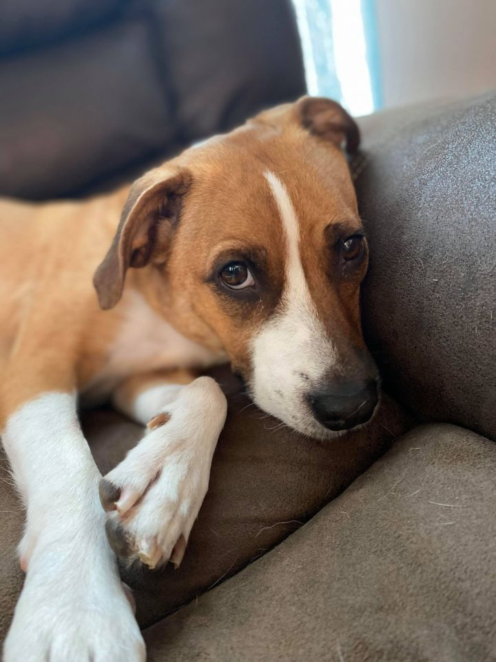 Adopt Sugar On Petfinder In 2020 Dog Adoption Help Homeless