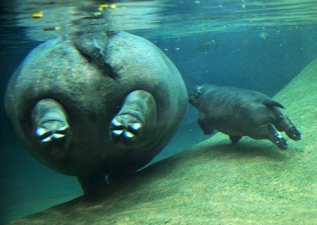 swimming with mum: Baby Hippoooo, Mothers, Berlin Zoos,  Dugong Dugon, Hippo Butt, Baby Hippopotamus, Children, Swimming, Animal Hippopotamus