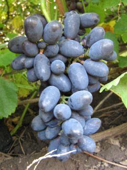 Кодрянка - сорт винограда