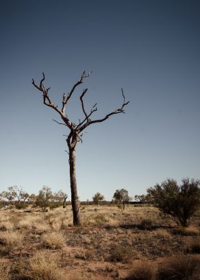 Uluru - Parched Tree