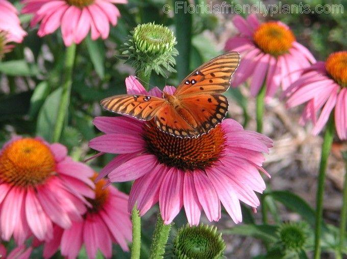 riverview flower farm u0026 39 s florida friendly plants  top butterfly plants