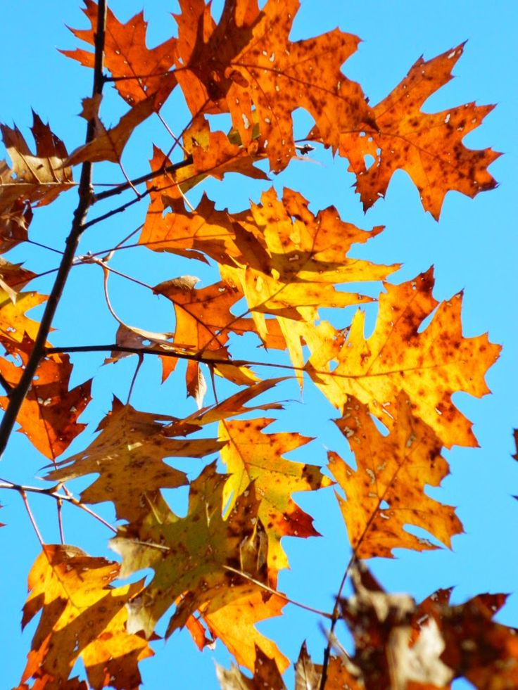Northern Red Oak (Quercus rubra) fall foliage  at Taylor Creek Park by garden muses: not another Toronto gardening blog.