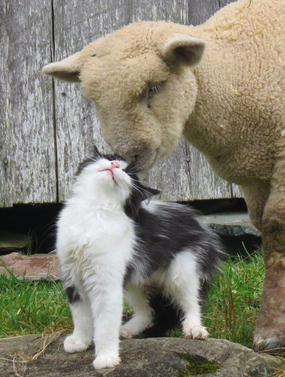 """A cat became friends with a cotswold sheep at a living history museum in Nova Scotia, Canada. """"There is a strange romance happening at my work,"""" said an employee from the museum."""