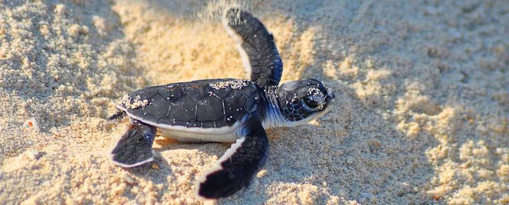 Selingan Turtle Island, one of Borneo's must-do adventures. We give you lots of images and valuable information about the turtle and wildlife experience from the small Sulu Sea island.