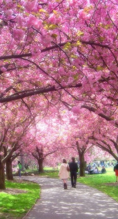 The Cherry Blossoms at Brooklyn Botanics, NYC • photo: Troy Tolley