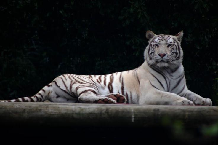 zlatá mramorovaná fotografie mládě Bengálský tygr: Bílý tygr ParadiseWildlifePark17-08-2009330.jpg