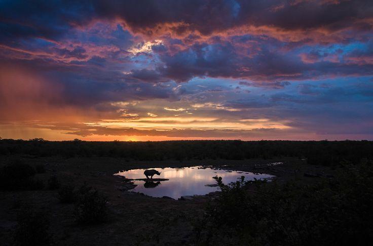 Black Rhinoceros at Sunset.