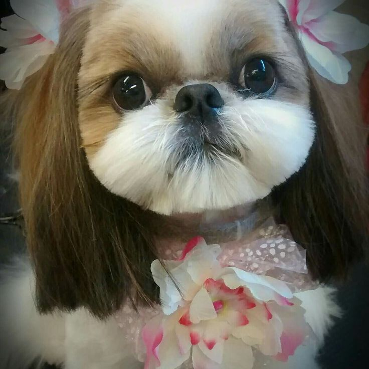 images of shih tzu haircuts 74 best shih tzu grooming hairstyles images on pinterest 8845