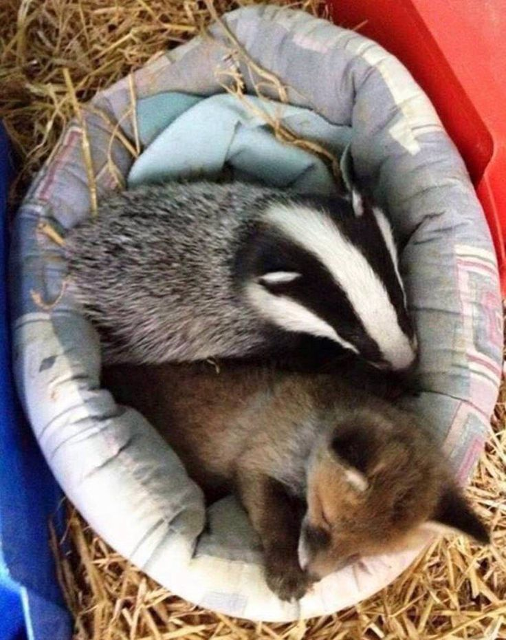 Fox is Foxy and the badger is called Violet. Both found each other while searching for food, they haven't left each other's side since then.